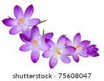Fresh Purple Crocus Flowers On...