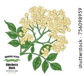 elderberry black  sambucus.... | Shutterstock .eps vector #756098959