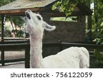 annoyed llama in the zoo | Shutterstock . vector #756122059