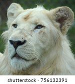 white lion is a rare color... | Shutterstock . vector #756132391