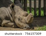 Small photo of Sudan the last northern white rhino