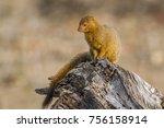 slender mongoose in kruger... | Shutterstock . vector #756158914