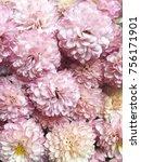 Chrysanthemum. Many Pink...