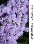 Small photo of Blooming ageratum, close-up