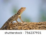 Small photo of Rock lizard, Archaeolacerta bedriagae, is a species of lizard in the family Lacertidae. The species is monotypic within the genus Archaeolacerta. It is only found on the islands Corsica and Sardinia.