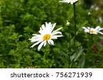 ox eye daisy flowers | Shutterstock . vector #756271939