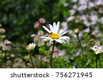 ox eye daisy flowers | Shutterstock . vector #756271945