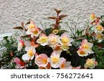large begonia flowers in the... | Shutterstock . vector #756272641