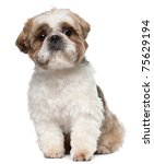 shih tzu  2 years old  sitting... | Shutterstock . vector #75629194