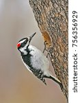 Hairy Woodpecker  Female At...