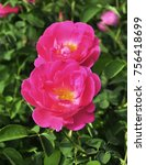 pink rose flower | Shutterstock . vector #756418699