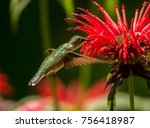 female ruby throated hummingbird | Shutterstock . vector #756418987