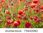 Summer Meadow / Poppy Field / nature background or wallpaper - stock photo
