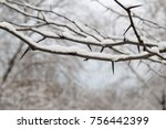 Small photo of A sweet thorn (Acacia karroo) tree branch full of sharp and menacing thorns. Younger plants, especially, are armed with spines which are modified stipules, situated near the leaf bases.