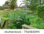 A Beautiful Butterfly Bush In...