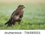 common buzzard  buteo buteo  | Shutterstock . vector #756585031