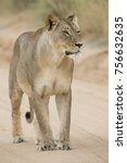 Close Up Of A Lioness In The...