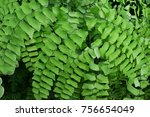 Small photo of Maidenhair fernwalking fern or maidenhair fern, is a genus of about 250 species of ferns in the Vittarioideae subfamily of the family Pteridaceae, Adiantaceae