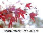 leaves of leaves maple leaves