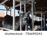 black angus heifer standing in... | Shutterstock . vector #756690241