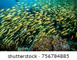 The Yellowfin Goatfish ...