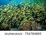 The Yellowfin Goatfish ...