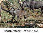 young wildebeest twins... | Shutterstock . vector #756814561
