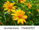 wild sunflowers or mexico...   Shutterstock . vector #756864907
