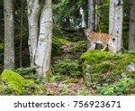 european lynx on a moss covered ...   Shutterstock . vector #756923671