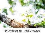 closeup of ginkgo biloba leaves | Shutterstock . vector #756970201