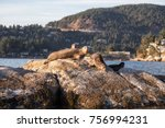 A Group Of Harbour Seals...