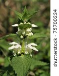 White Dead Nettle   Lamium Album