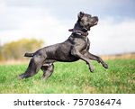 Grey Cane Corso Dog Playing In...