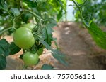 Closeup Group Of Green Tomatoe...