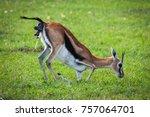 photo of a thomson's gazelle... | Shutterstock . vector #757064701