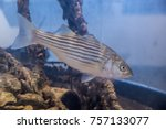 Young Striped Bass In An...