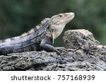 iguana on rock with striped... | Shutterstock . vector #757168939