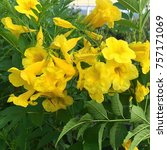 Small photo of Yellow bells, Esperanza, or Tecoma sans flowering big yellow trumpet like blooms.