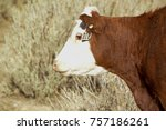 a red cow used for its beef. | Shutterstock . vector #757186261
