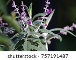 Mexican Sage Plant In Natural...