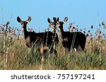 mule deer does during the rut | Shutterstock . vector #757197241