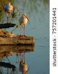 Small photo of A pair of American white ibis, photographed in extreme south Texas.