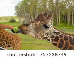 the head of a giraffe  eat.  | Shutterstock . vector #757238749