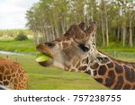 the head of a giraffe  eat.  | Shutterstock . vector #757238755