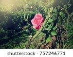 fresh pink roses flower... | Shutterstock . vector #757246771