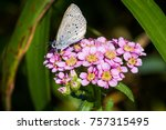 Small photo of A Spring Azure (Celastrina agriolus) butterfly on Chinese Yarrow (Achillea alpina), one of the many wildflowers on Rebun Island in Japan