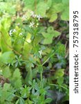 Small photo of Hedge Bedstraw wild flower