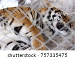 adult tiger closeup | Shutterstock . vector #757335475