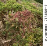 Small photo of Parasitic Plant Dodder (Cuscuta epithymum) Growing over Gorse on the South West Coast Path between Ilfracombe and Woolacombe in Rural Devon, England, UK
