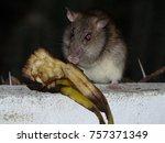 Small photo of Rat eats banana, Muridae family. Aruba Caribbean.